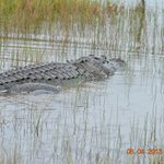 And of course alligators! None on grounds...