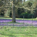 Blue carpet of crocus in Lacock Abbey