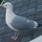 Begging Gull on Roof outside our Porch