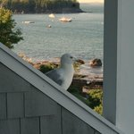 Begging Gull on railing of porch next door