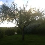 The olive tree in our garden