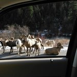Our version of a traffic jam - Big Horn Sheep style