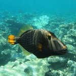 Orange striped Trigger Fish