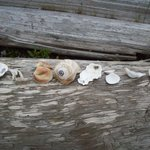Seashell finds.