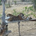 Family of Bengal Tigers at Friguia Park