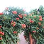 Trumpet vine outside our veranda