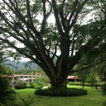 One of the most majestic trees in El Valle