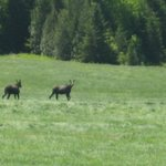 looking out our dining room window, moose running through our fields