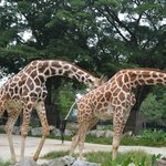 Bored-looking Giraffes