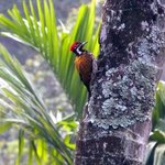 Greater flameback seen from the back porch