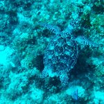 Sea Turtle Along Reef