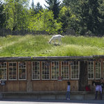 Goats on the Roof by James C Swartz Photographer