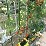 Elba greenhouse tomatoes