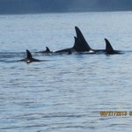 Orcas,moms and babies