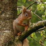 Red Squirrel behind Dunmail House