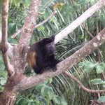 Howler monkey just off rear deck