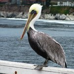 A frequent visitor to the pier