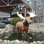 Moose in front of the hotel.
