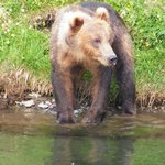 Bells Flat bear at Russian River