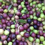 our little olive harvest