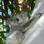 Our sometimes resident koala Billy paid us a visit last weekend