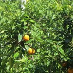 Nature on your doorstep fresh orange trees and lemons 2 seconds outside your door