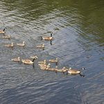 The resident Canada Geese