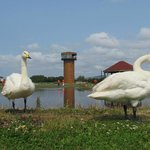 Resident whooper swans in the freshwater area