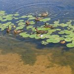 ducks behind cabin in water lilies