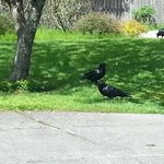 Preening Ravens on Whittier between the State Museum and the Art Council