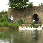 Swans at The Trout, Tadpole Bridge