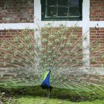 Peacock greets guests