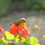 Female Amethyst Sunbird on the Pile-Inn breakfast verandah