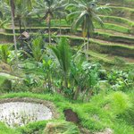 Rice terrace fields Ubud