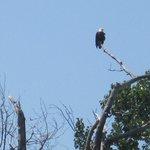 Bald Eagle overlooking Wallowa Lake  - we were able to view from the boat we rented at the marin
