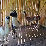 A few of the llamas.