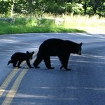Mama and baby bears we saw when driving Skyline Drive