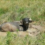 River Water Buffalos relaxing in their mud bath