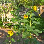 Sunflowers in the early morning sun - gardens were gorgeous