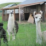 Friendly Alpacas--we enjoyed watching them!