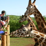 Hand Feed Giraffes every day