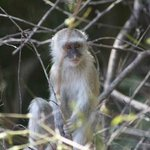Vervet monkey near the walkway