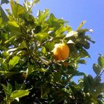 Lemon tree in the garden