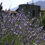 The Lavender along the driveway