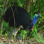 Two Cassowaries spotted in the Daintree recently