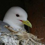 Nesting kittiwake nearby.