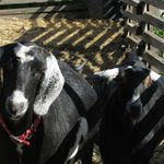 Peanut Butter and Jelly: The goats!