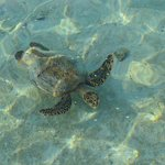 turtle at the water villa
