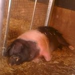 the big pig at the farms