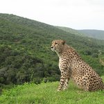 Thabo the resident cheetah